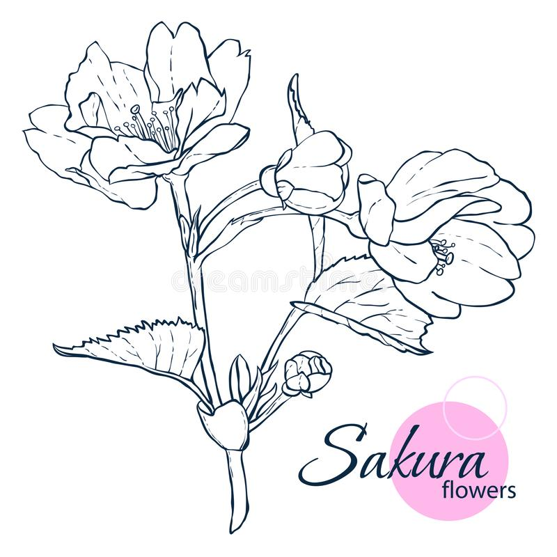 Hand drawn Japanese blossom sakura flowers. Line-art style illustration. Coloring book for adult and children. royalty free stock photos