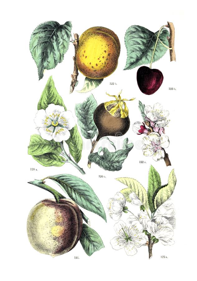 Illustrations of plant. stock images