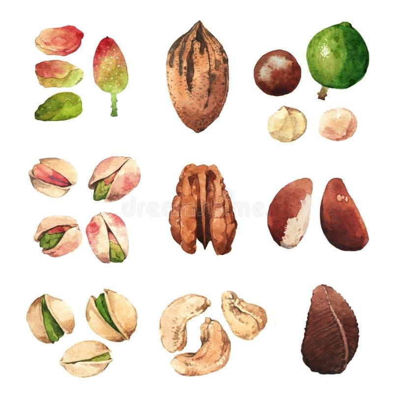 Illustrations pour aquarelle de clipart (images graphiques) des écrous et des graines illustration stock