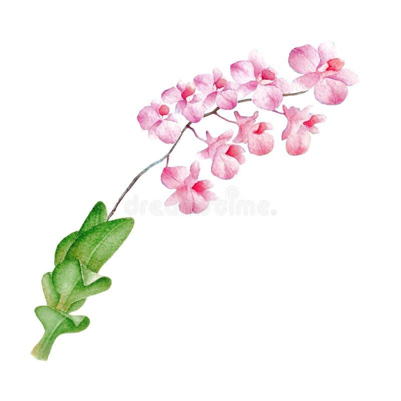 Illustrations tirées par la main de croquis et d'aquarelle d'orchidée Orchidée de peinture d'aquarelle Illustration d'orchidées d illustration libre de droits