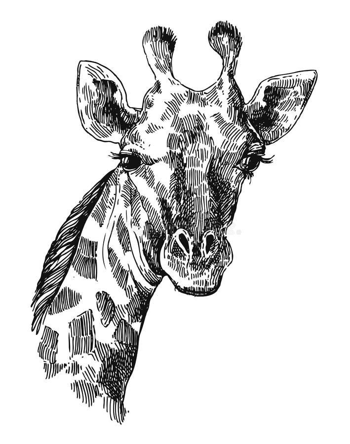 Illustrationsporträt og Giraffe Beautful Hand gezeichnete vektor abbildung