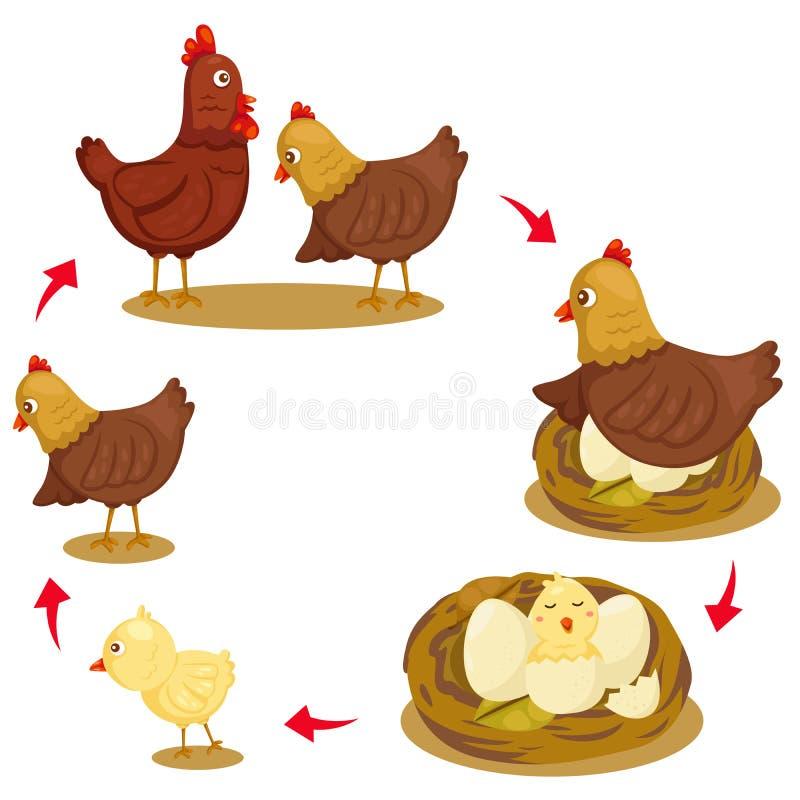 Illustrator del ciclo de vida del pollo stock de ilustración