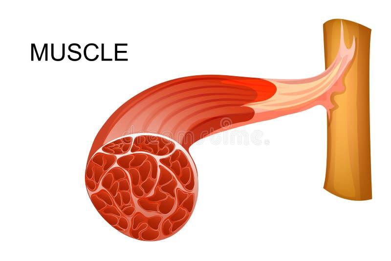 Illustrazione anatomica delle fibre muscolari per le pubblicazioni mediche illustrazione di stock