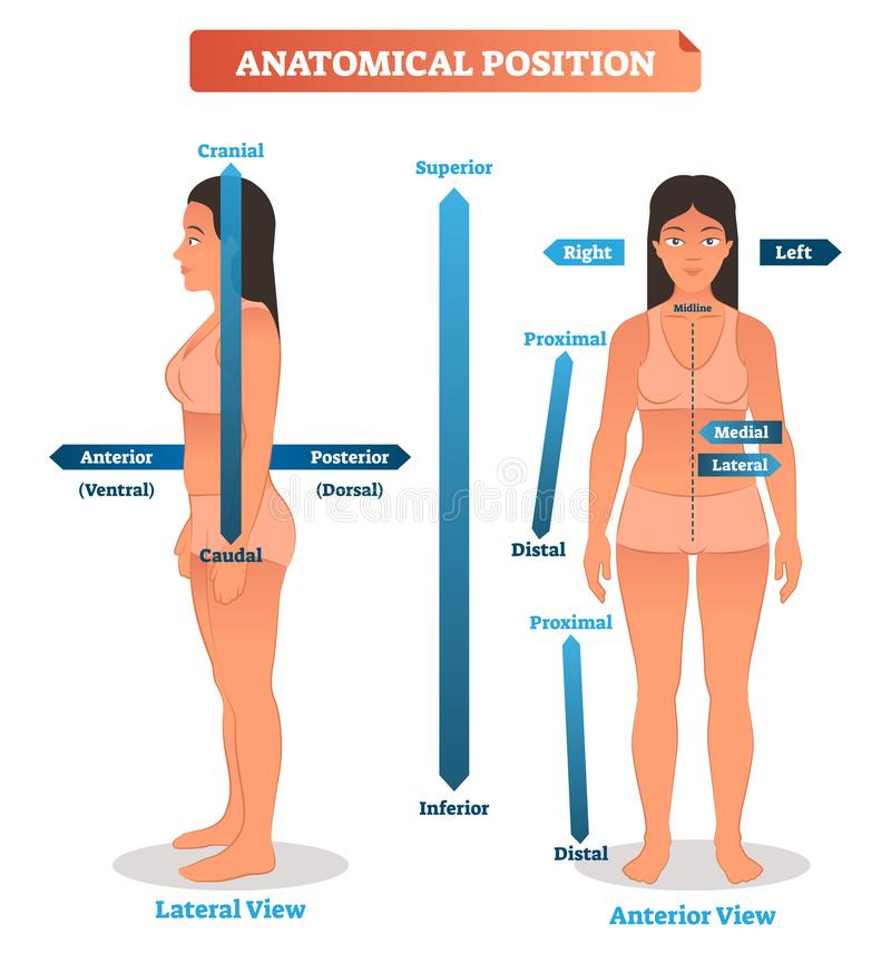 Illustrazione anatomica di vettore di posizioni Schema delle posizioni superiori, inferiori e prossimali, distali Lati anteriori  illustrazione vettoriale