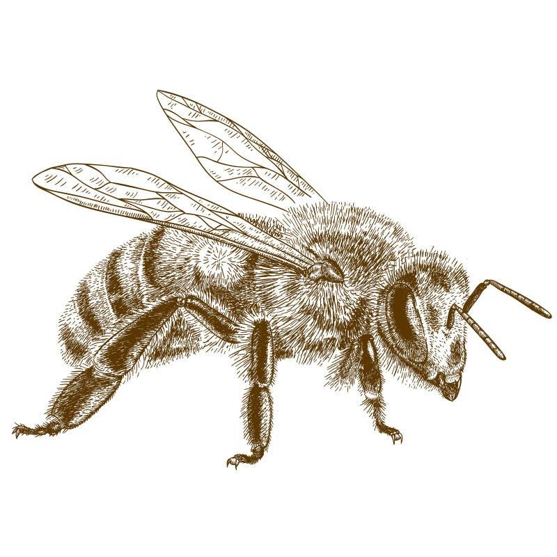Illustrazione antica dell'incisione dell'ape del miele illustrazione vettoriale