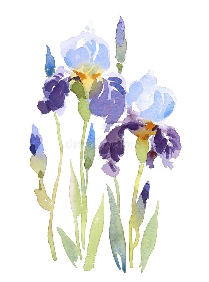 Illustrazione blu dell'acquerello dei fiori delle iridi dipinta a mano illustrazione vettoriale
