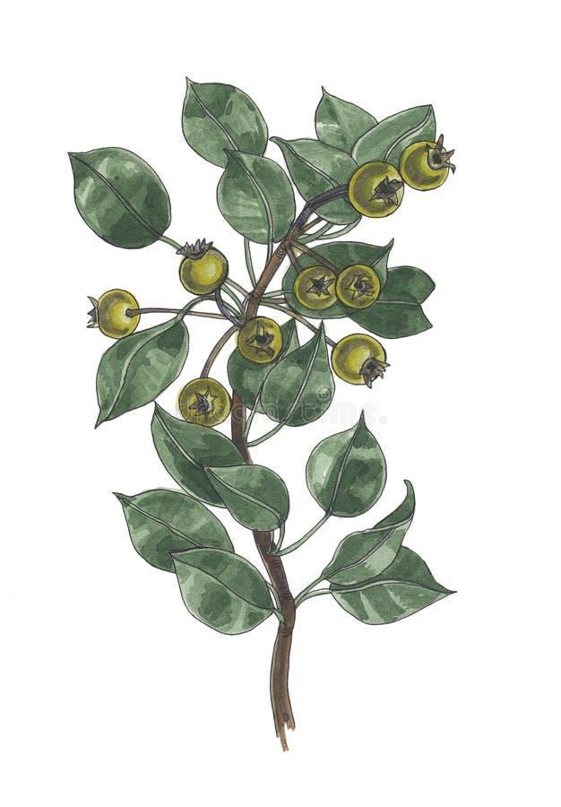 Illustrazione botanica dell'acquerello del ramo selvaggio della pera fotografia stock