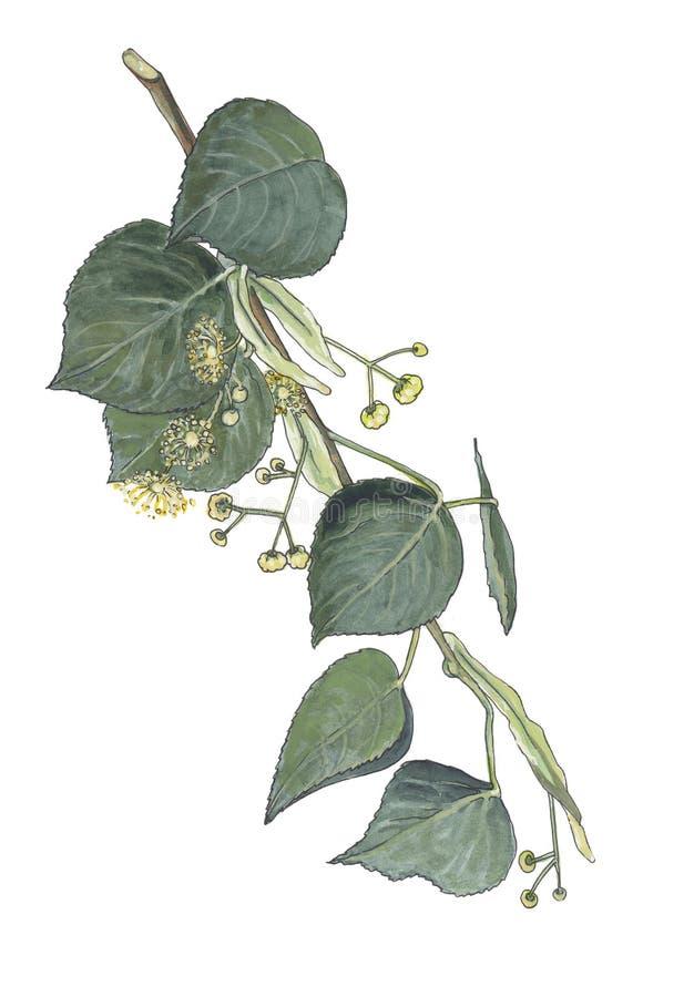 Illustrazione botanica dell'acquerello del ramo del tiglio illustrazione vettoriale