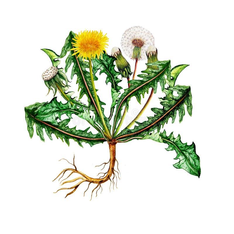 Illustrazione botanica isolata del dente di leone dell'acquerello royalty illustrazione gratis