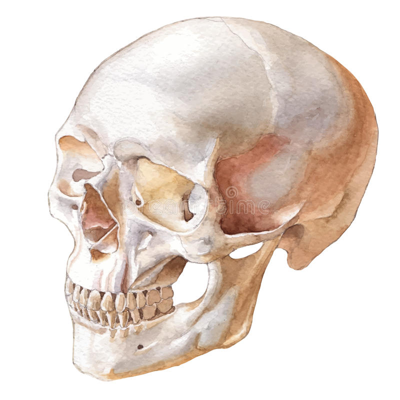 Illustrazione con il cranio royalty illustrazione gratis