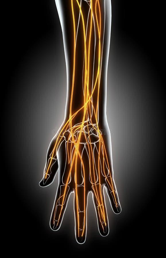 illustrazione 3D del sistema nervoso della mano illustrazione vettoriale