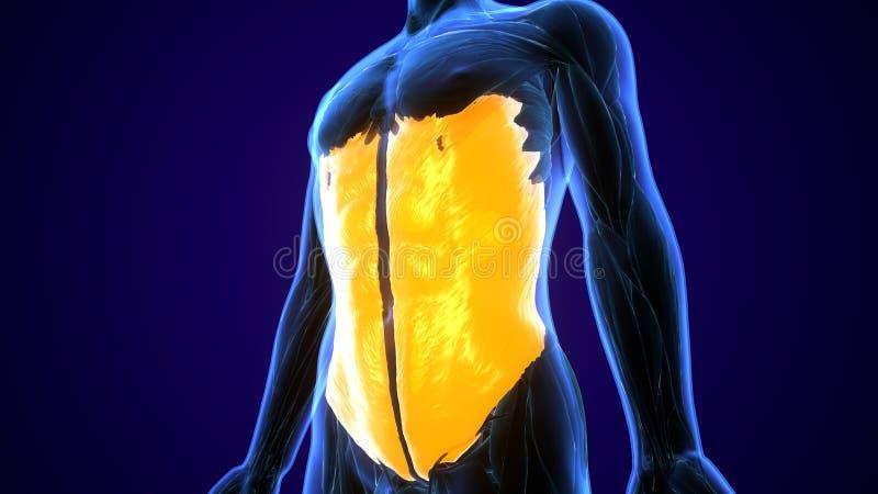 illustrazione 3d dell'illustrazione medicamente accurata del muscolo dell'obliquo esterno royalty illustrazione gratis