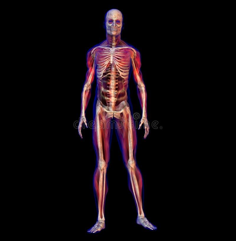 Illustrazione dei raggi X dello scheletro maschio umano illustrazione di stock