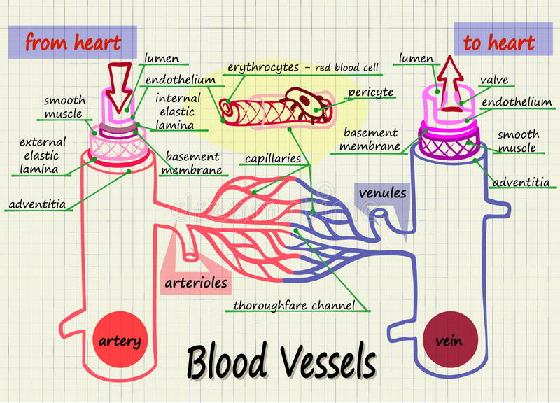 Illustrazione dei vasi sanguigni umani illustrazione di stock