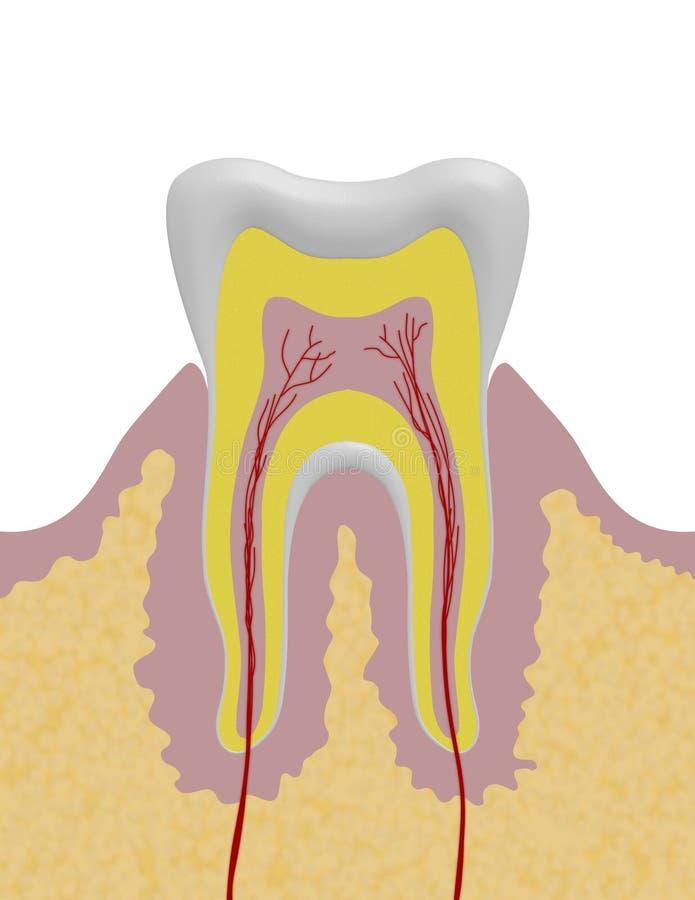Illustrazione del dente royalty illustrazione gratis