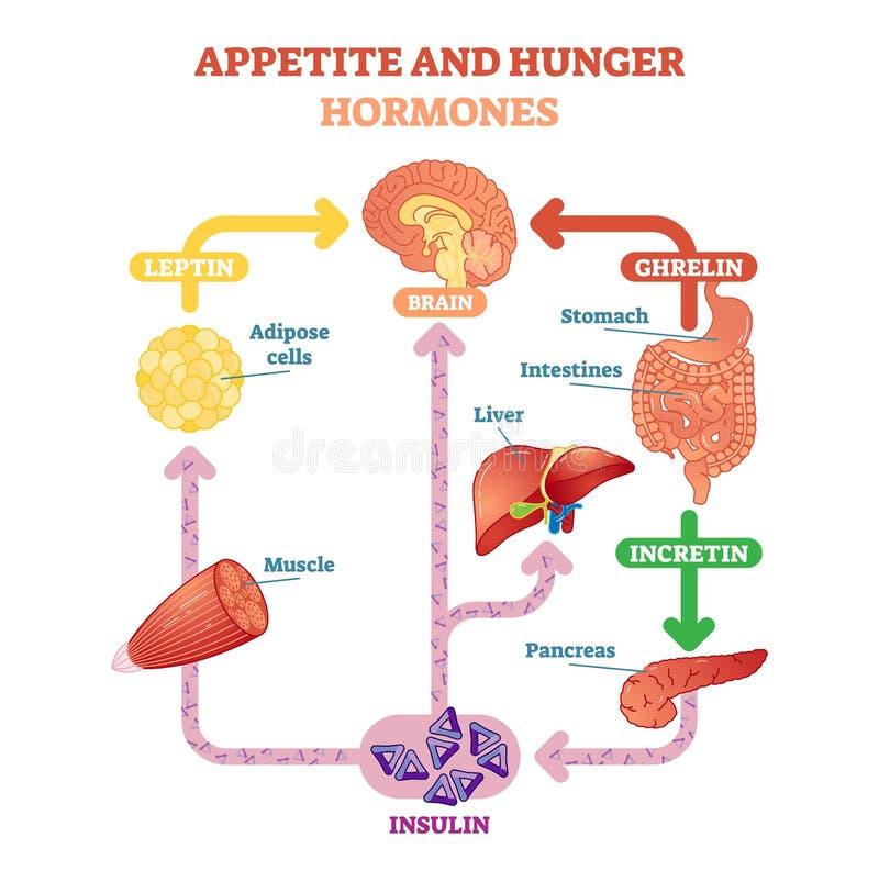 Illustrazione del diagramma vettoriale degli ormoni di fame e di appetito, schema educativo grafico Informazioni mediche educativ royalty illustrazione gratis