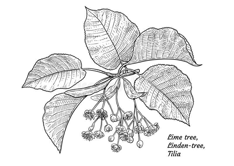 Illustrazione del fiore e della foglia del tiglio, disegno, incisione, inchiostro, linea arte, vettore illustrazione vettoriale