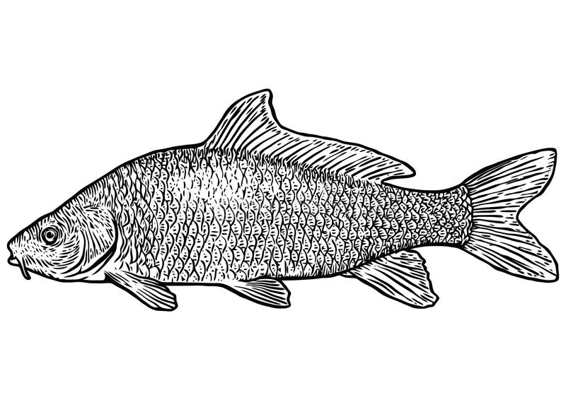 Illustrazione Del Pesce Della Carpa Disegno Incisione Linea