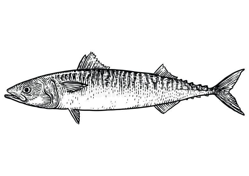 Illustrazione Del Pesce Dello Sgombro Disegno Incisione Linea