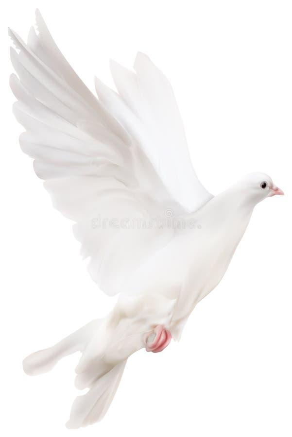 Illustrazione del piccione isolata bianco illustrazione di stock