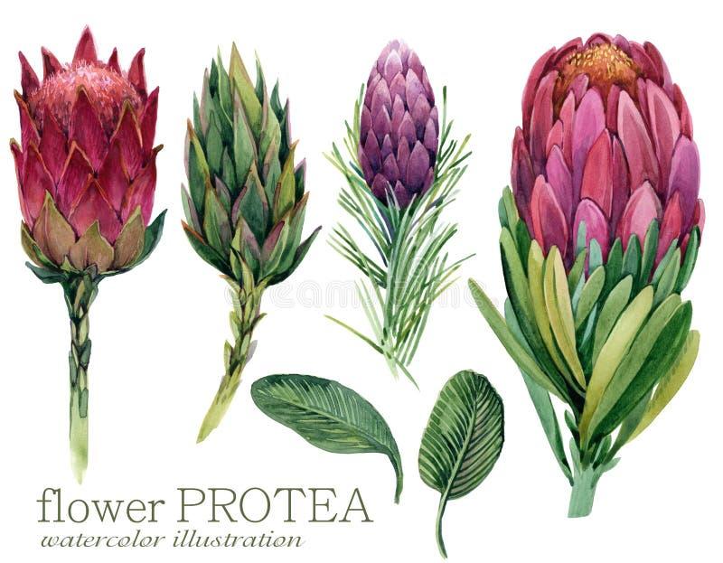 Illustrazione del Protea del fiore dell'acquerello illustrazione di stock