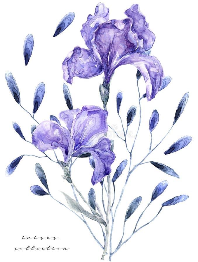 Illustrazione dell'acquerello con l'iride Fiori freschi di verniciatura sul dpi bianco del negozio di fiori della carta di regalo illustrazione di stock