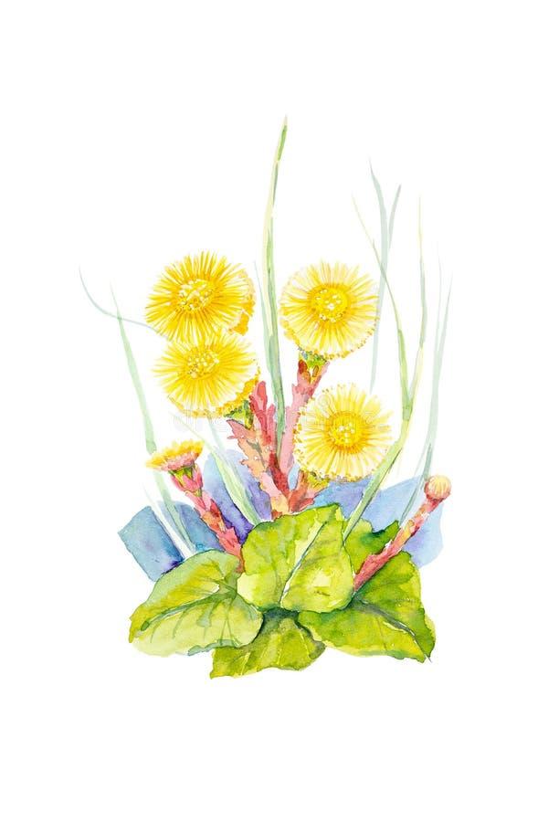 Illustrazione dell'acquerello dei fiori madre e matrigna Isolato su priorità bassa bianca illustrazione vettoriale