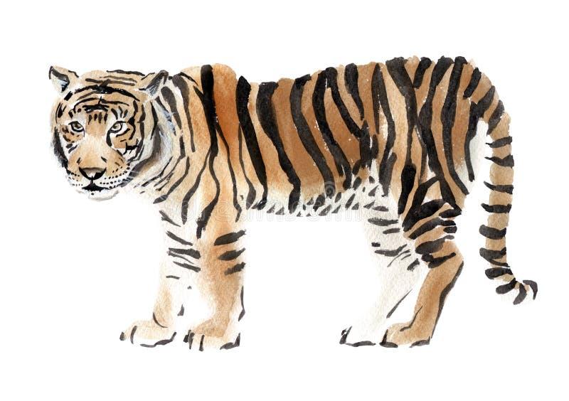 Illustrazione dell'acquerello di una tigre royalty illustrazione gratis
