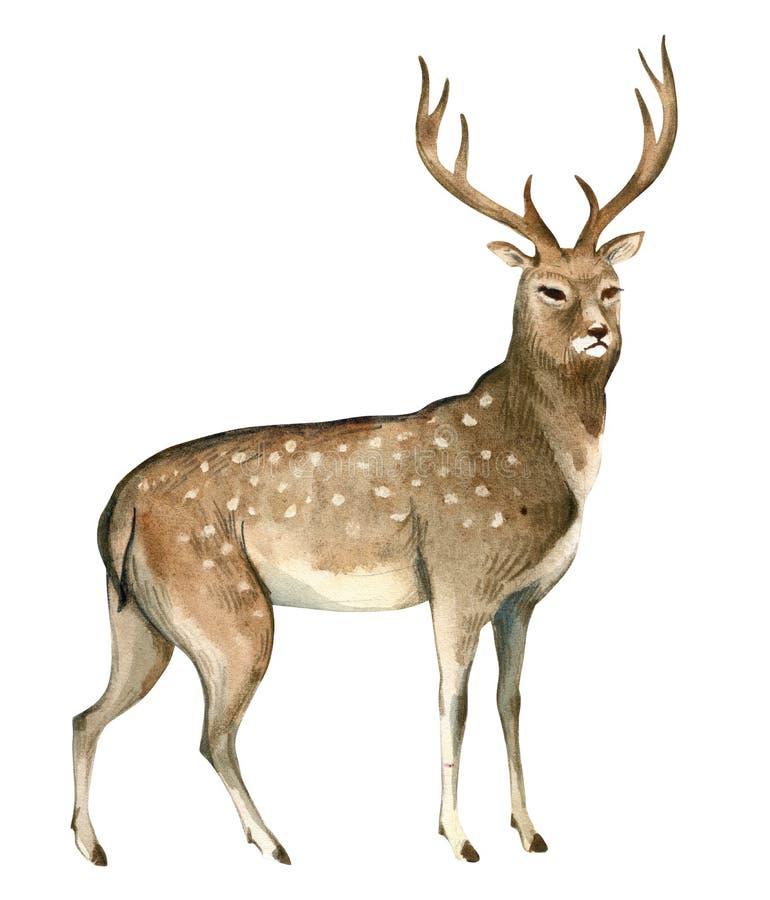 Illustrazione dell'acquerello su fondo bianco Un cervo marrone sta Spruzza lo schizzo degli animali del nord della foresta selvag illustrazione vettoriale