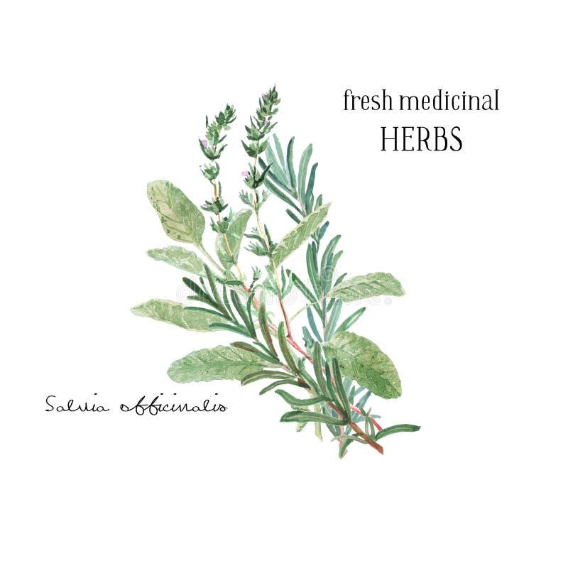 Illustrazione dell'acquerello Un mazzo di erbe fresche e di rami culinari e medicinali Elemento di progettazione floreale perfett illustrazione vettoriale