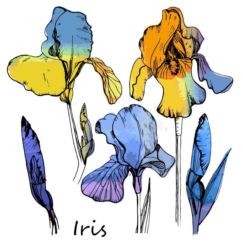 Illustrazione dell'insieme dell'acquerello delle iridi di colore Elemento floreale isolato Fiori disegnati a mano di estate royalty illustrazione gratis