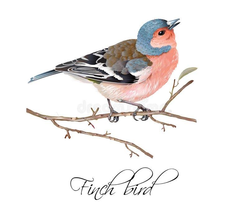 Illustrazione dell'uccello del fringillide illustrazione di stock