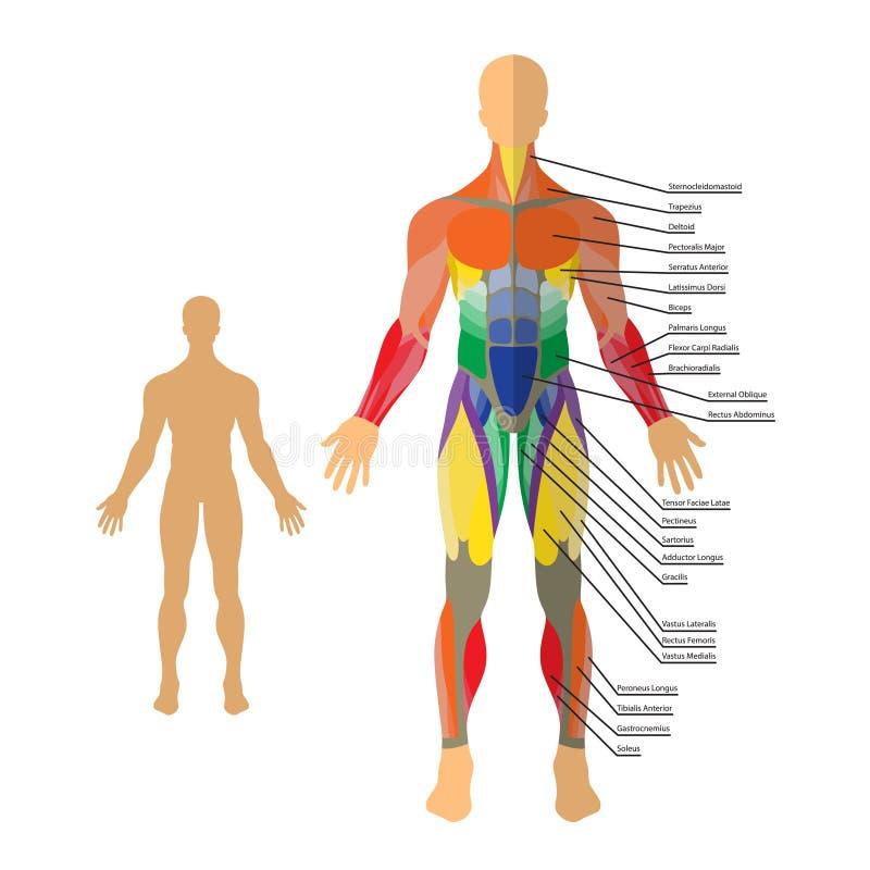 Illustrazione dettagliata dei muscoli umani Esercizio e guida del muscolo Addestramento della palestra royalty illustrazione gratis
