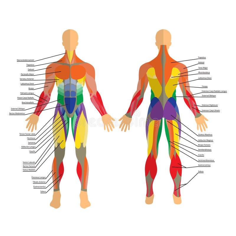 Illustrazione dettagliata dei muscoli umani Esercizio e guida del muscolo Addestramento della palestra Anteriore e posteriore vis illustrazione di stock