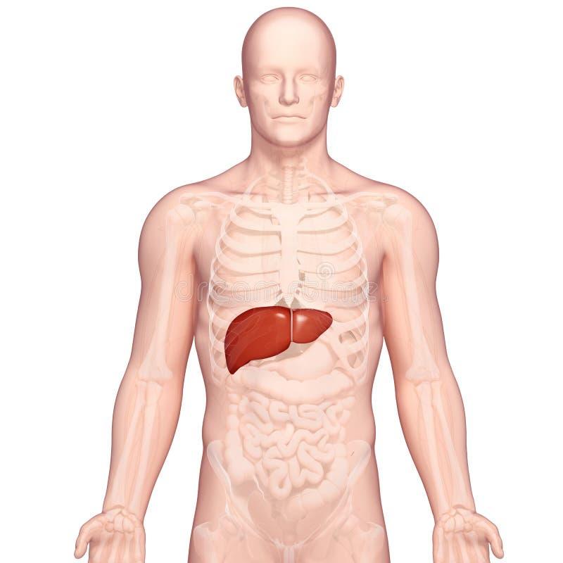 Illustrazione di anatomia di fegato umano illustrazione di stock