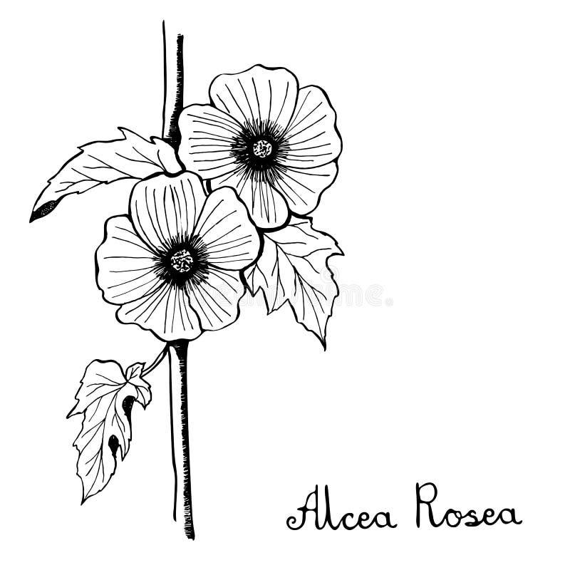 Illustrazione di botanica del fiore di Rosea del Alcea illustrazione di stock