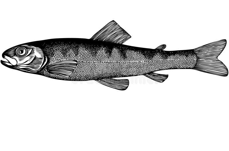 Illustrazione di color salmone del parr dei pesci fotografie stock