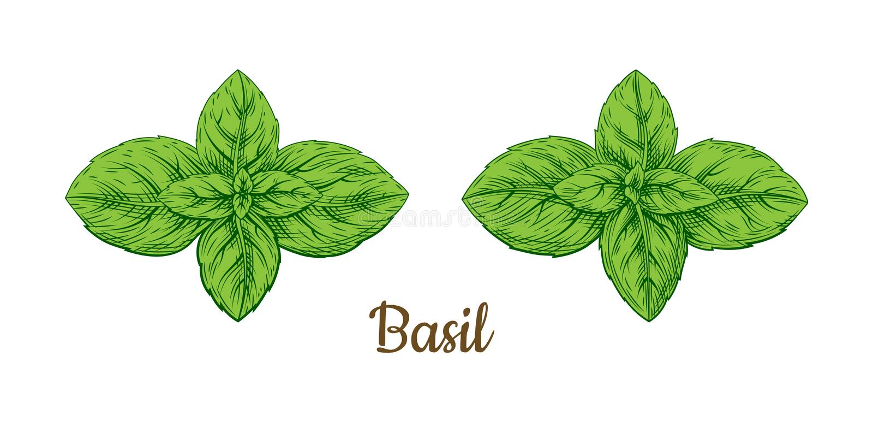 Illustrazione di colore verde del basilico Retro stile illustrazione di stock