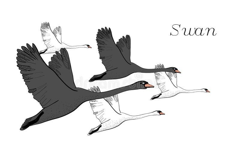 Illustrazione di disegno dei cigni neri di volo Disegnato a mano, progettazione grafica di scarabocchio con gli uccelli oggetto i illustrazione di stock