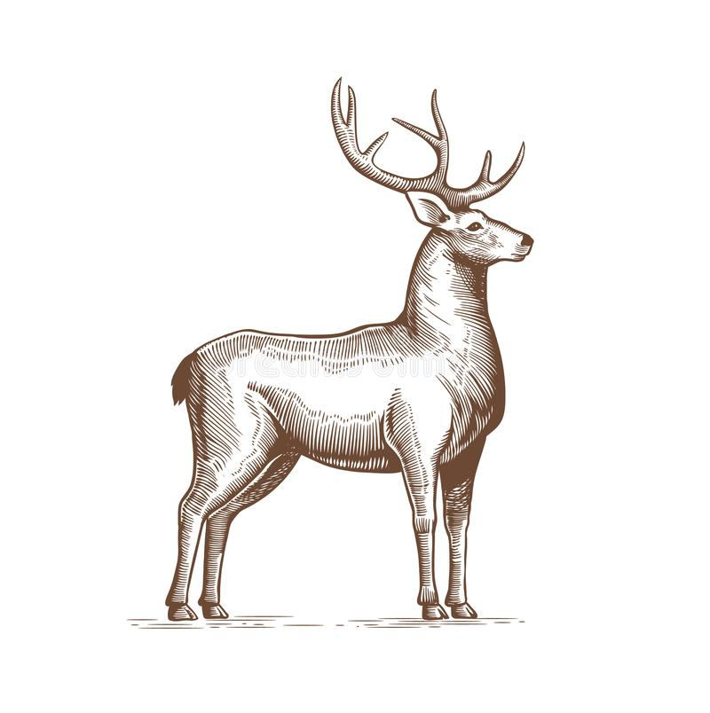 Illustrazione di un cervo che disegna a mano nello stile d'annata dell'incisione Etichetta di lerciume dei cervi, autoadesivo che illustrazione vettoriale