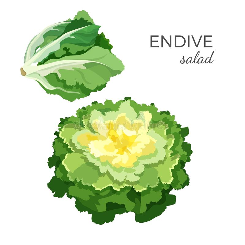Illustrazione di verdure vegetariana organica fresca di vettore dell'insalata dell'indivia illustrazione di stock
