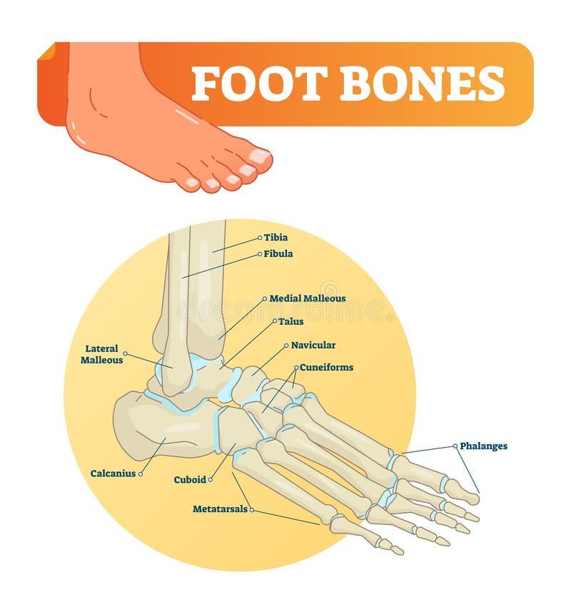 Illustrazione di vettore con le ossa di piede Diagramma medico e schema educativo con la tibia, il perone, malleous, talus e navi illustrazione vettoriale