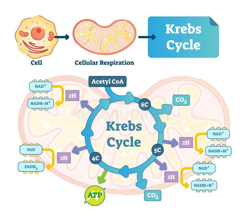 Illustrazione di vettore del ciclo di Krebs Acido tricarbossilico citrico identificato schema illustrazione vettoriale