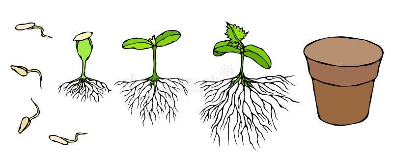 Illustrazione di vettore del germe e del germoglio dei semi con le radici in terra Piantina, tiro, pianta di giardinaggio dell'al royalty illustrazione gratis