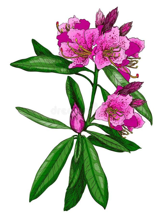 Illustrazione di vettore del nerium oleander royalty illustrazione gratis