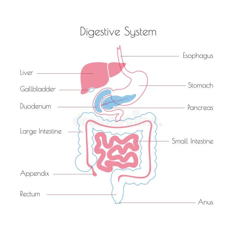 Illustrazione di vettore del sistema digestivo umano illustrazione di stock