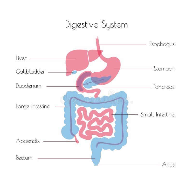 Illustrazione di vettore del sistema digestivo umano illustrazione vettoriale