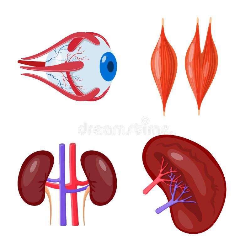 Illustrazione di vettore dell'icona dell'organo e di anatomia Raccolta di anatomia e dell'illustrazione di riserva medica di vett illustrazione vettoriale