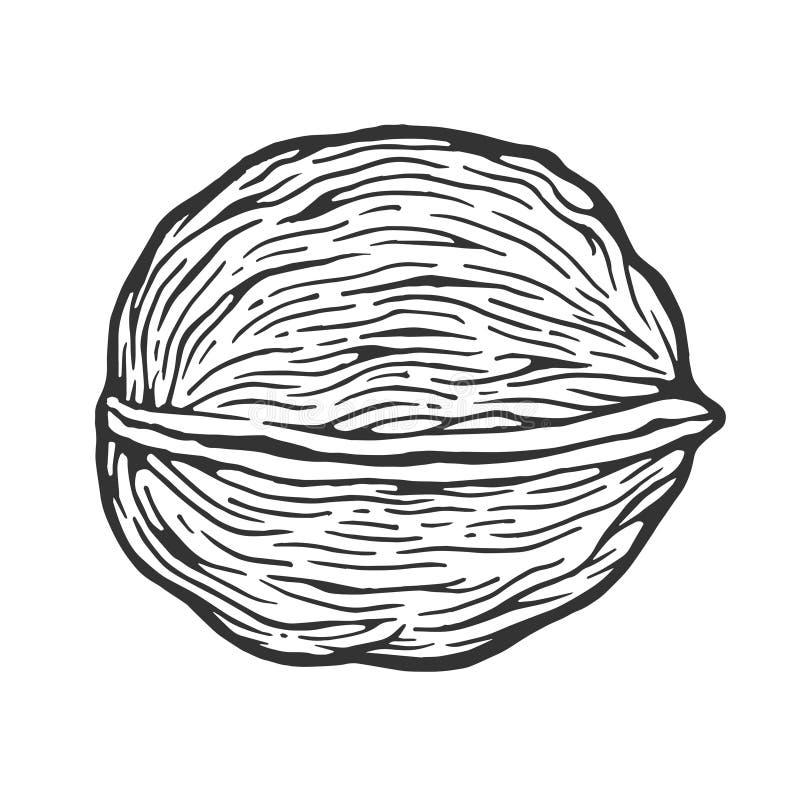 Illustrazione di vettore dell'incisione di schizzo del dado della noce illustrazione di stock