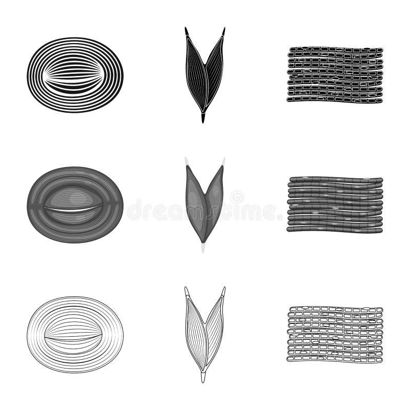 Illustrazione di vettore di fibra e dell'icona muscolare Raccolta del simbolo di riserva del corpo e della fibra per il web royalty illustrazione gratis